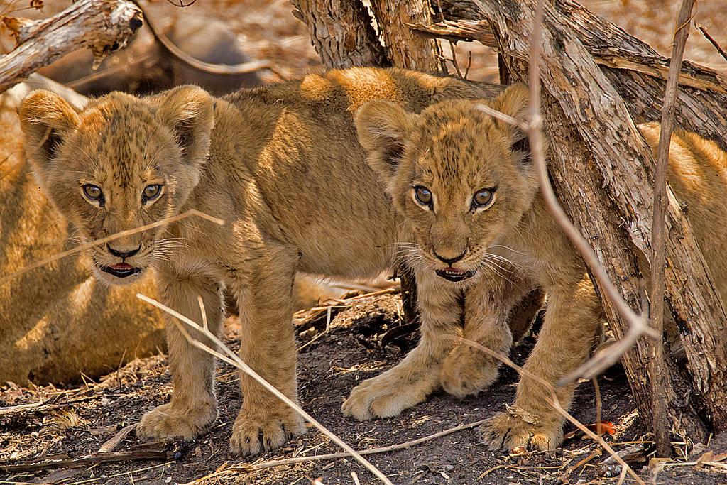 Интересные факты о львах 2