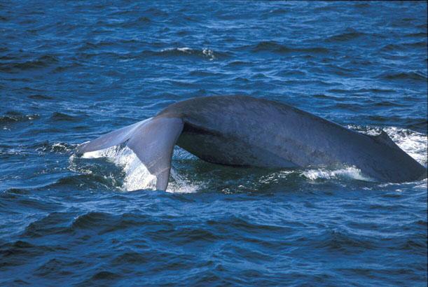 голубой (или синий) кит