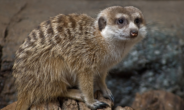 African meerkats