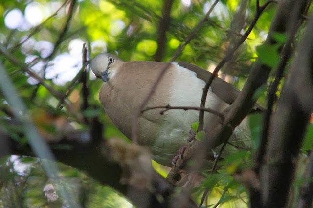 Гренадский голубь