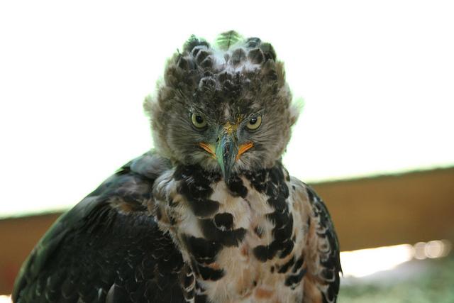 коронованный орел