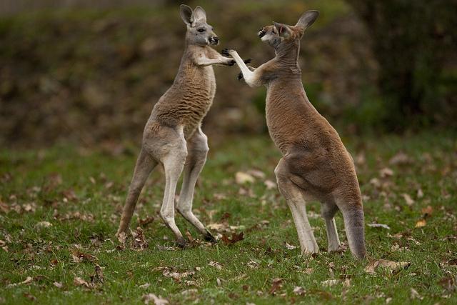 newborn kangaroos