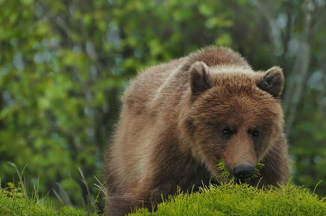 бурый медведь2