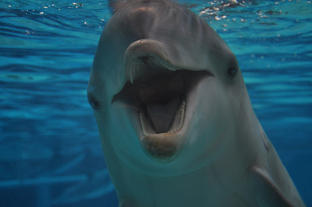 Обыкновенный дельфин