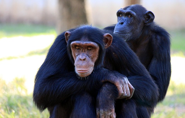 apes-88994_640