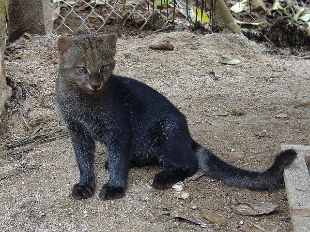jaguarundi4