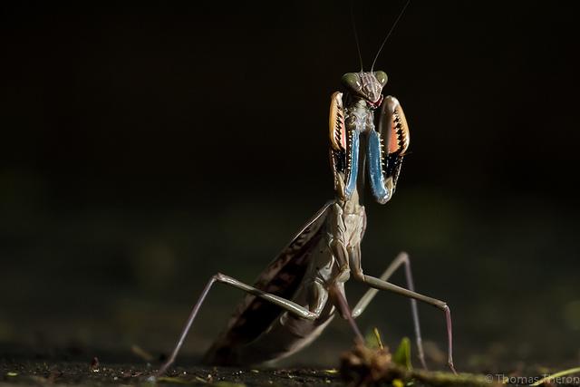 mantises2