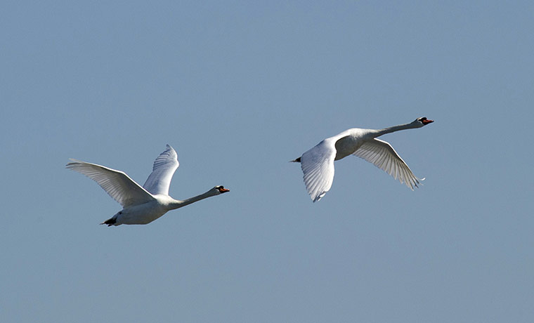 A pair of Mute Swans in flight near City Island in New York