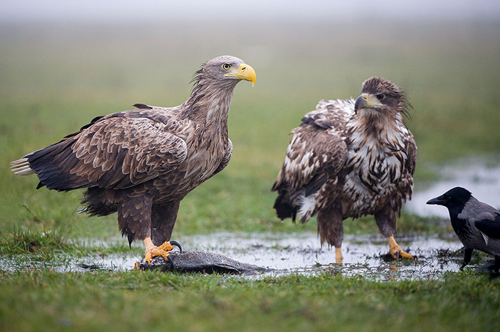 White-tailed sea eagles in Hungary