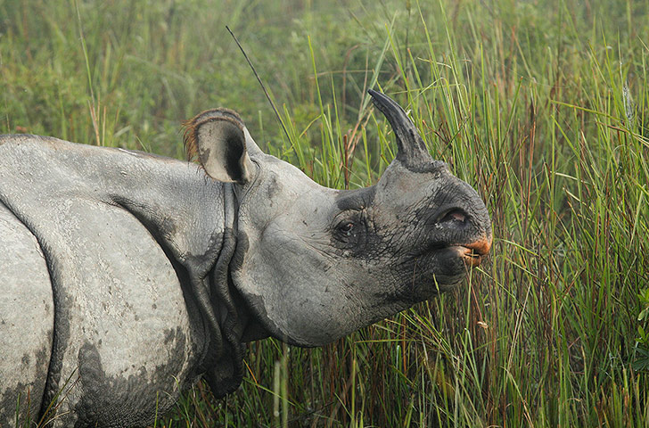 one-horned rhinoceros grazes inside the Kaziranga National Park, India