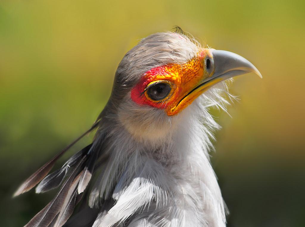 птица секретарь