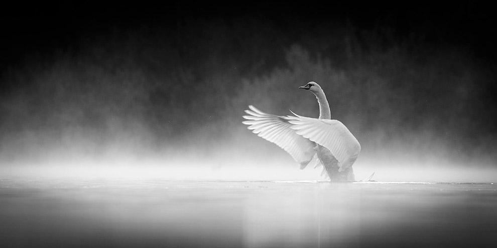 лебедь в утреннем тумане