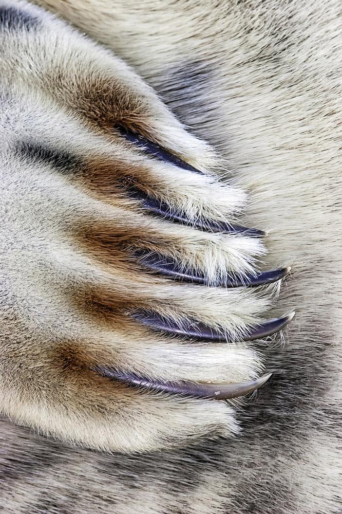 когти серово тюленя