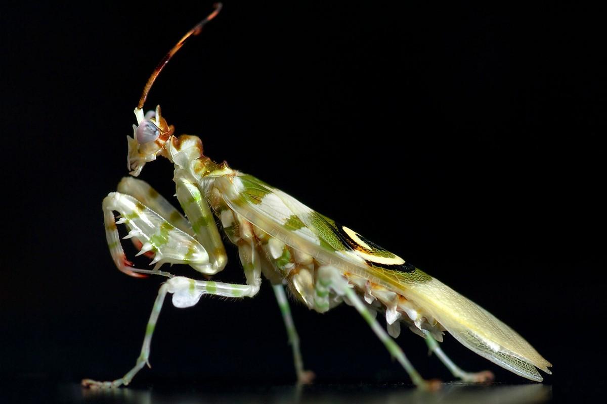 mantis15