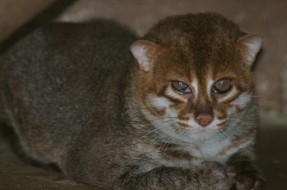 Суматранская кошка