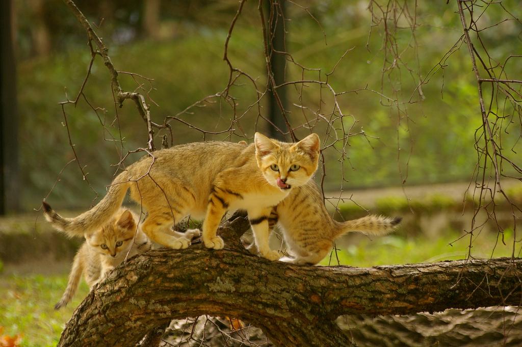 Барханный кот