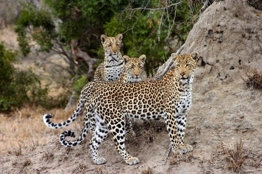Анатолийский леопард