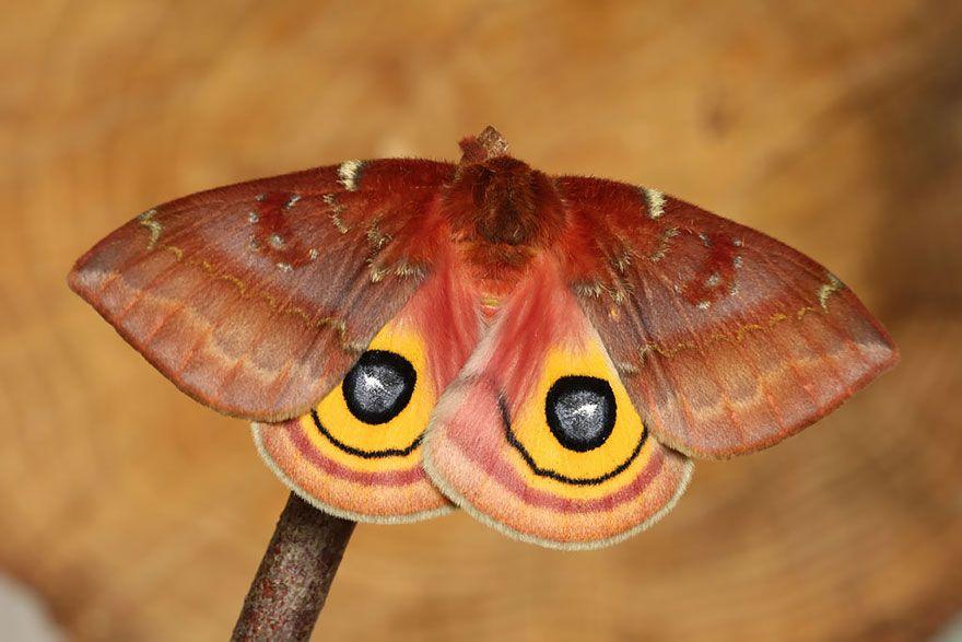 Бабочка Ио1