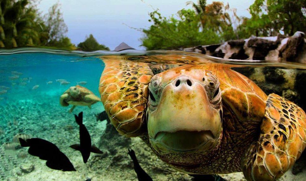 Черепахи Bora Bora во Французской Полинезии в Тихом океане