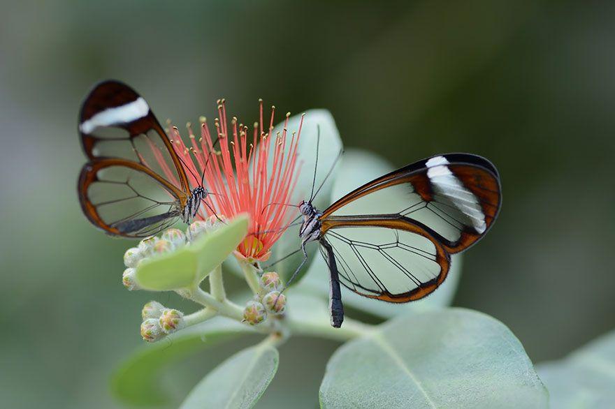 Крылатая бабочка Стекло1