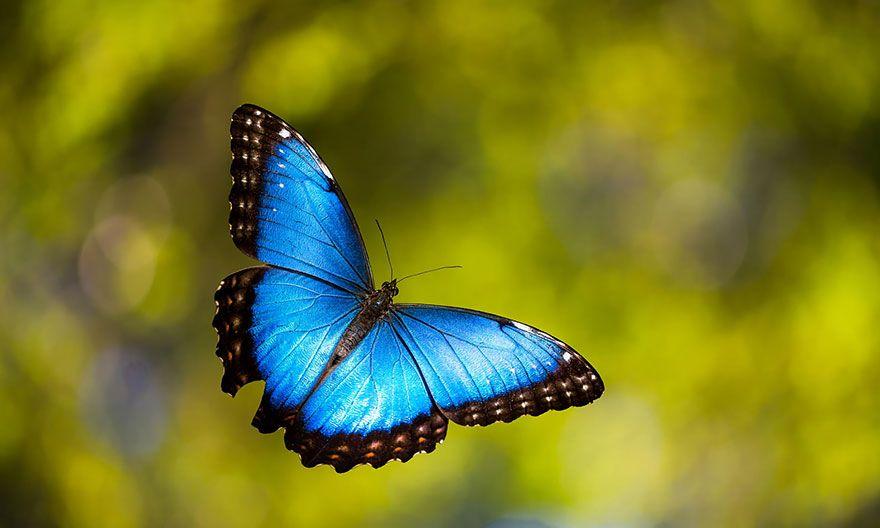 Синий Морфо1