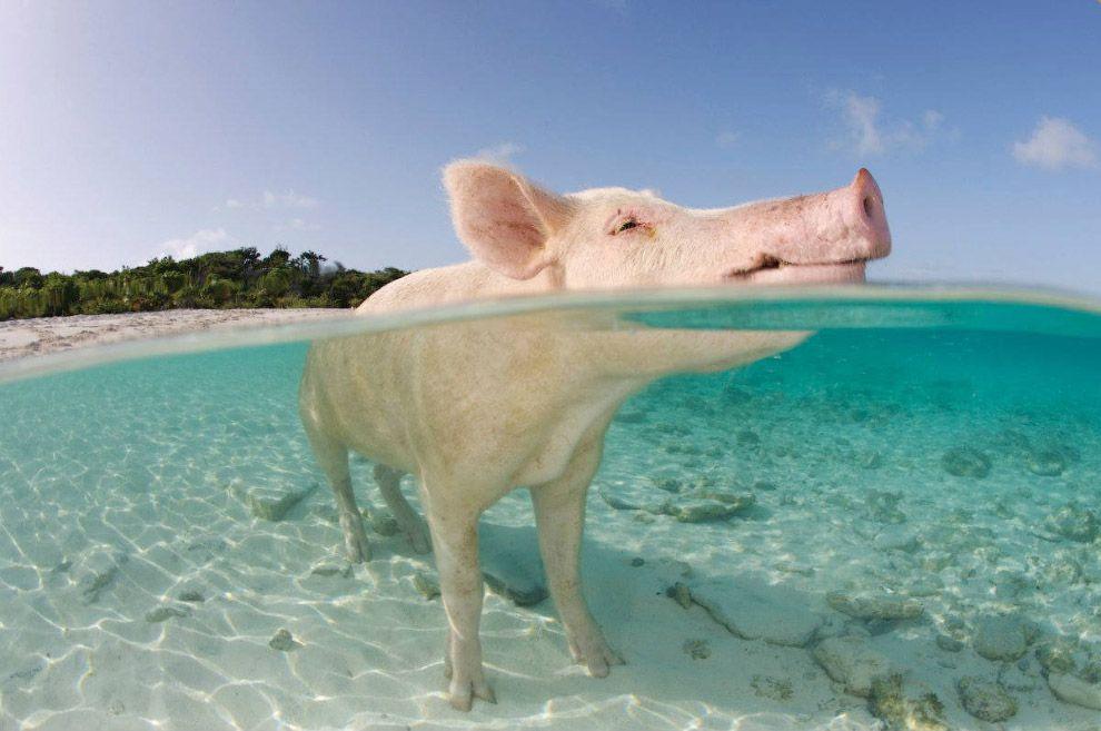 Удивительно, но поросенок на Багамах