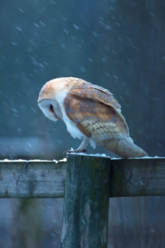 owls99