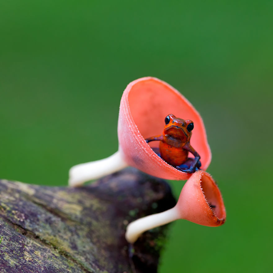 This tiny frog is also known as the strawberry poison arrow frog. The adults are between 2 and 2.5 cm long (3/4-1 inch). The males are very territorial and patrol it defending it from other mating or calling males, non-breeding males, and of course females, are allowed in. The fights between males can last up to 20 minutes with the males standing on their back legs and wrestling chest to chest. The loser is not killed but retreats from the victors territory.