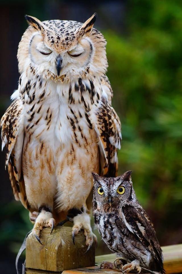 owls15