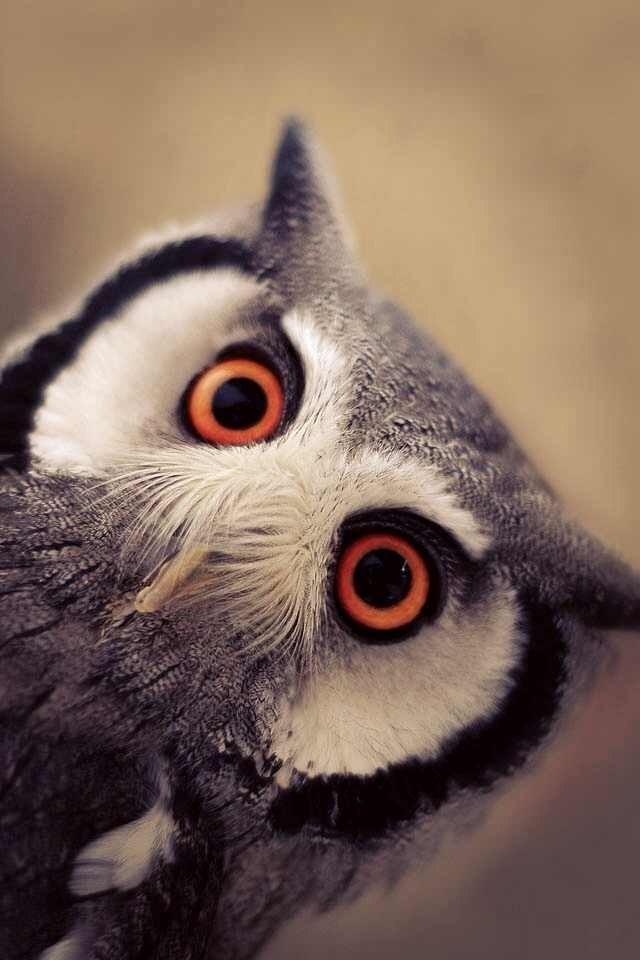 owls29