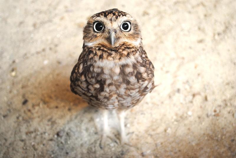 owls31