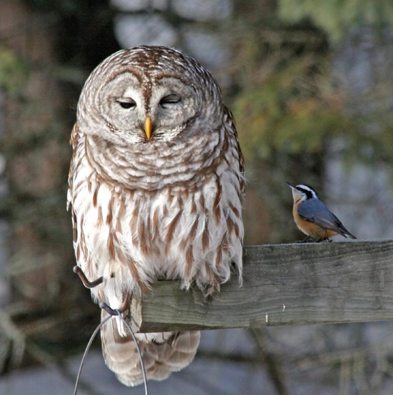 owls34