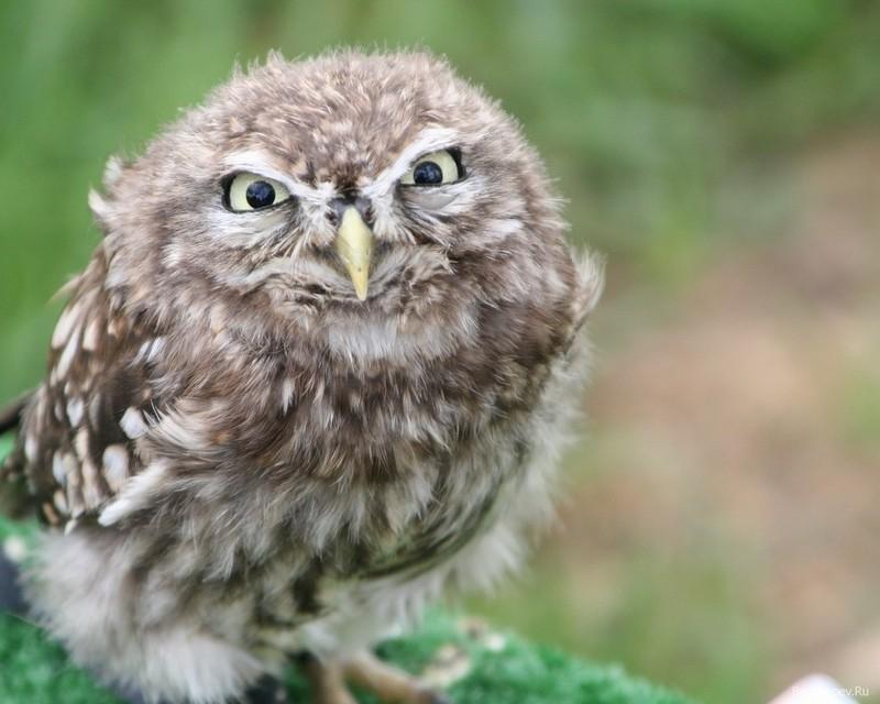 owls38