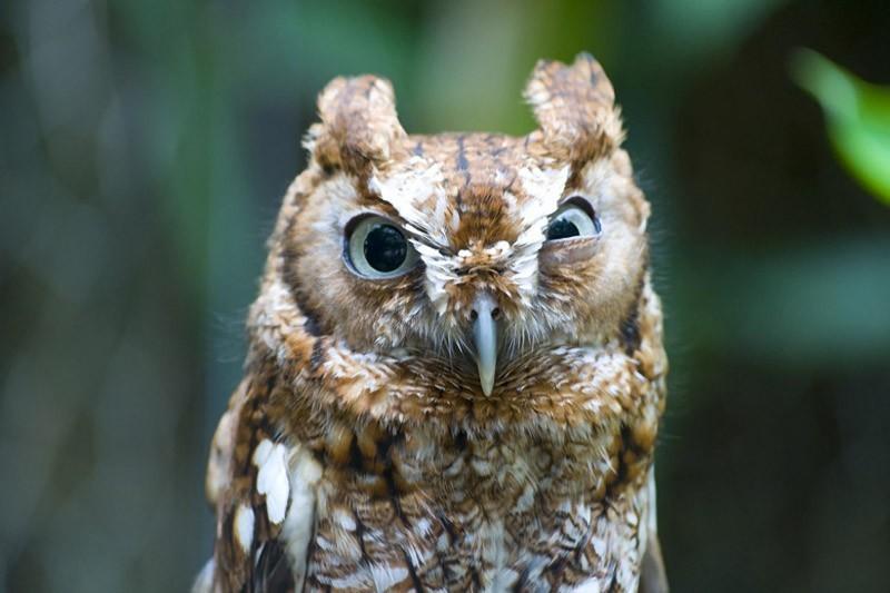 owls40