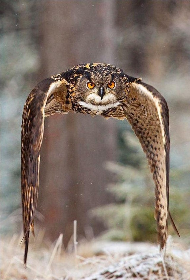 owls43