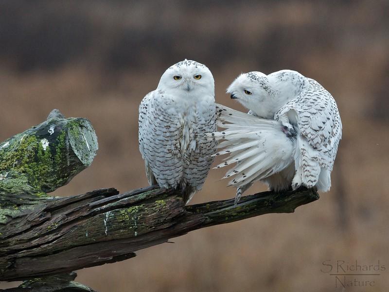 owls44