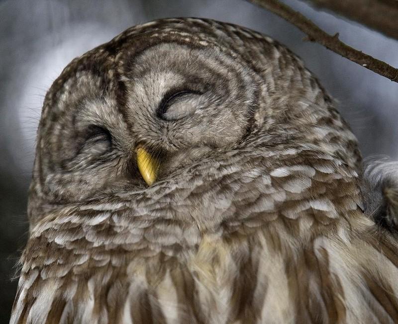 owls50