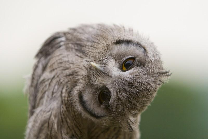 owls52