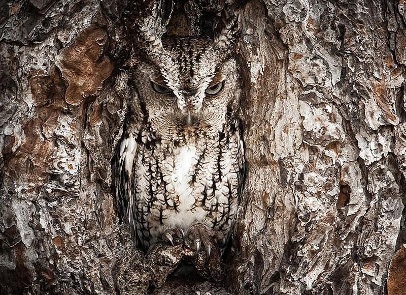 owls60