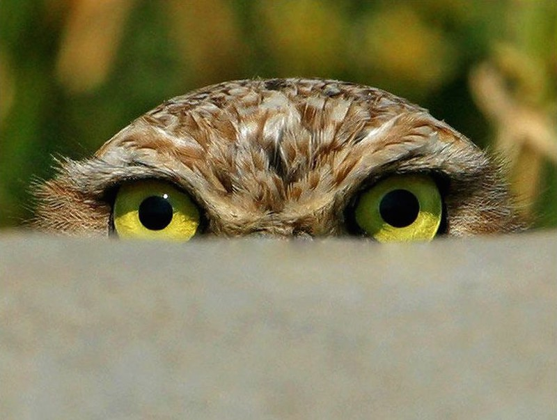owls62