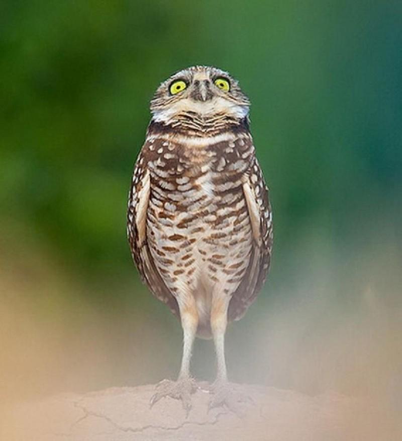owls66