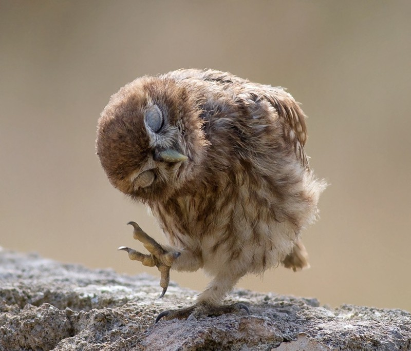owls75