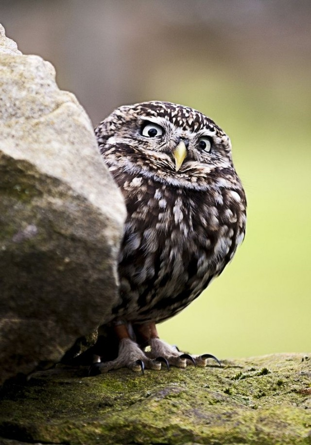owls78