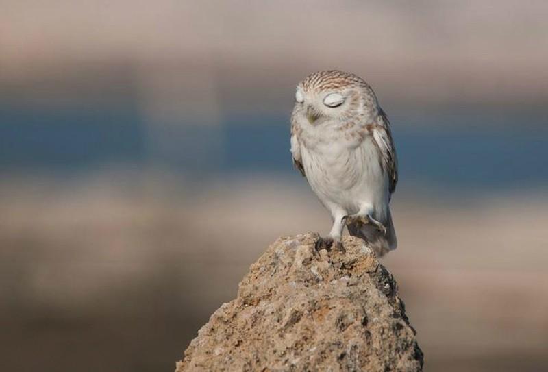 owls80