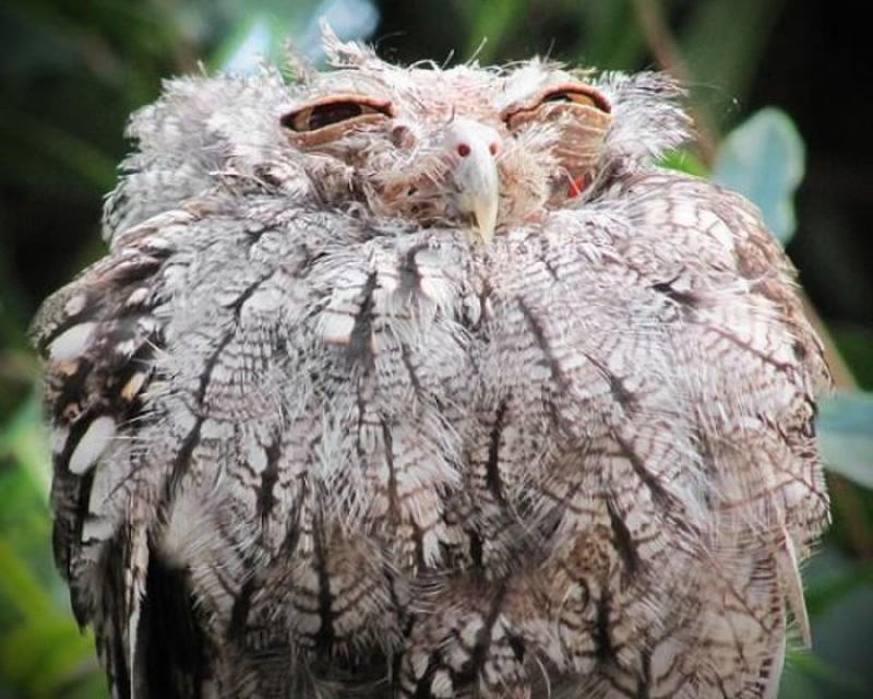 owls83
