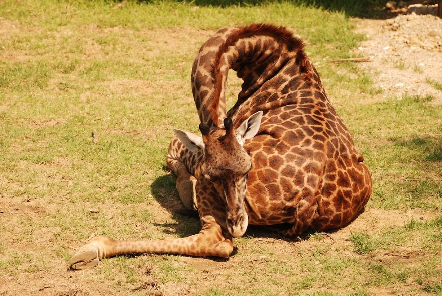 sleeping-giraffe-2__880