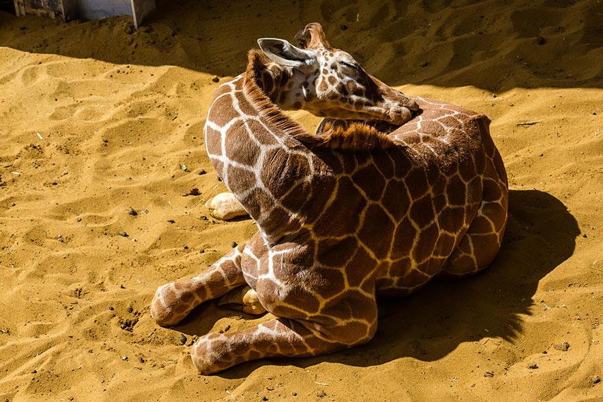 sleeping-giraffes-10__880