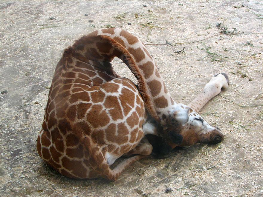 sleeping-giraffes-2__880