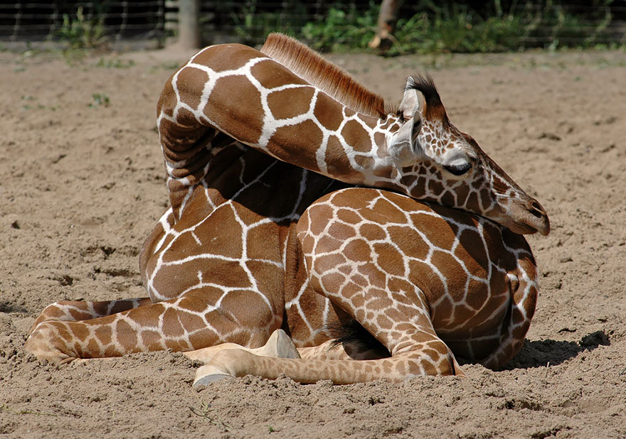 sleeping-giraffes-7__880