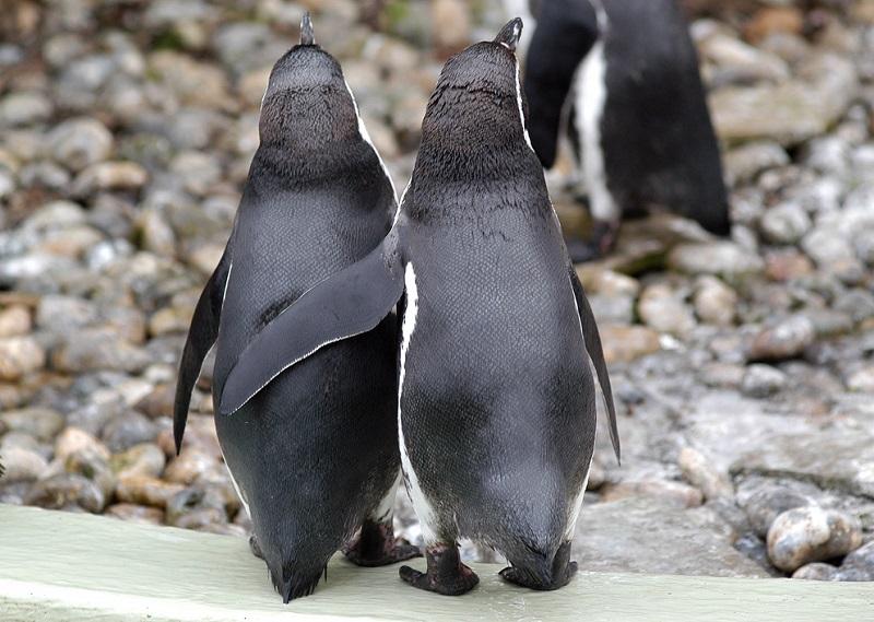 35-Пингвины-обнимающиеся животные